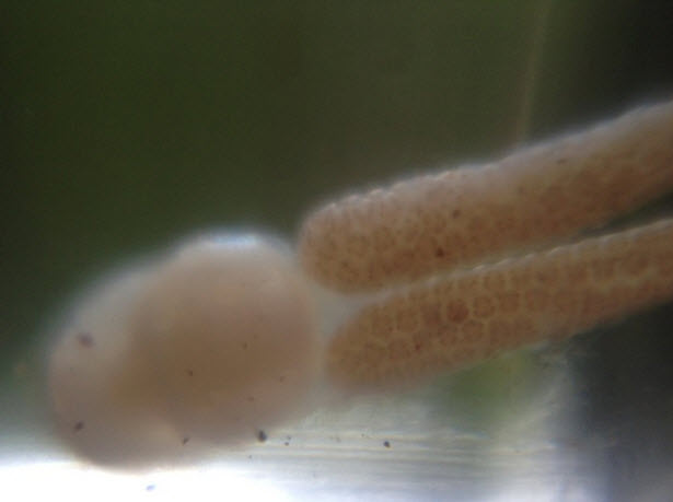 Trout Parasite with Micro Lens